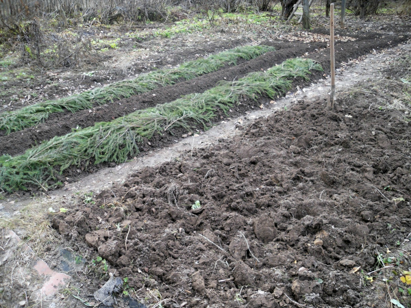 Подготовка грядок под чеснок после сбора урожая предшественников