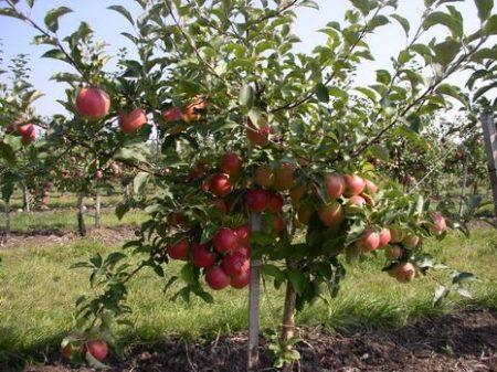 Вид карликовой яблони в саду