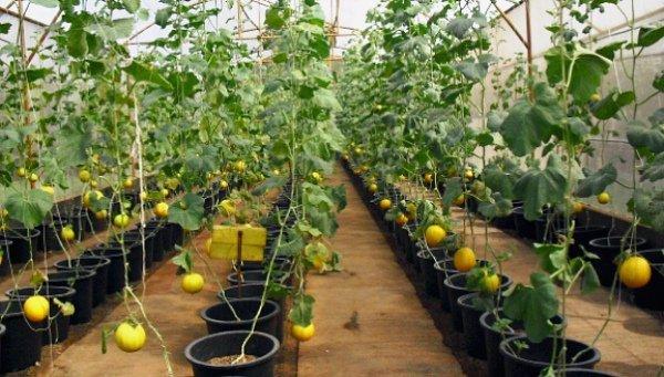 Выращивание алтайской дыни в теплице