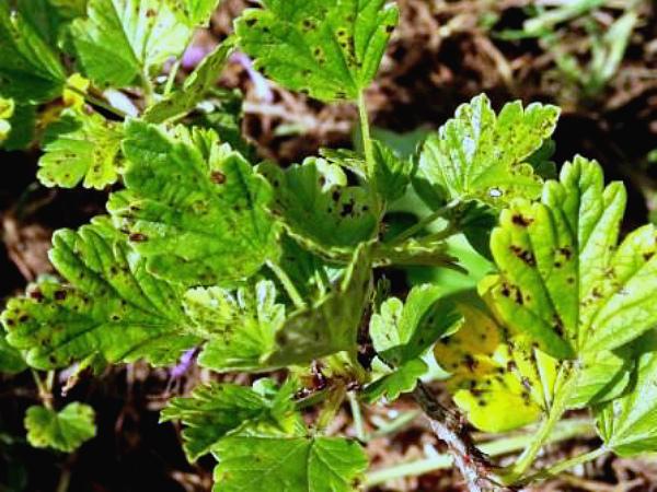 Пятна септориоза на листовой пластине крыжовника