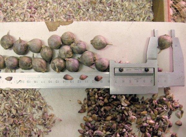 Процесс отбора по размеру бульбочек и севок