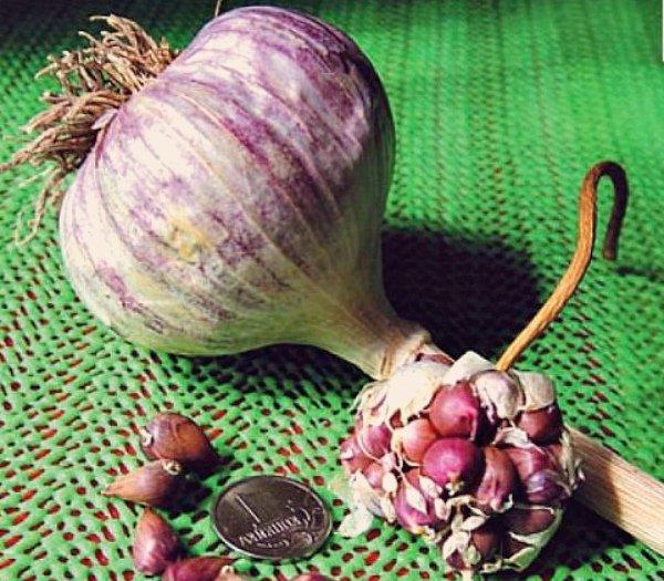 Луковица и бульбочка озимого чеснока