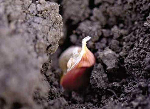 Размножение чеснока бульбочками под зиму