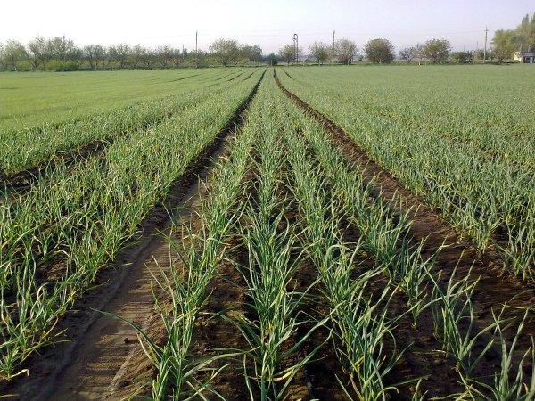 Украинские плантации озимого чеснока