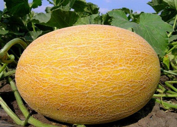 Спелый плод дыни Ананасная