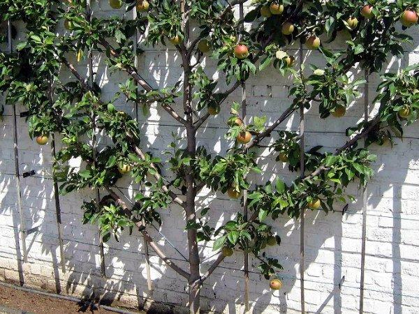 Крона яблони «вертикальная пальметта»