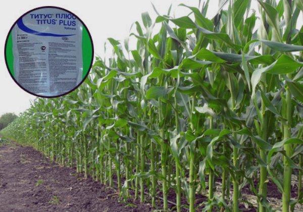 Применение гербицида при выращивании кукурузы