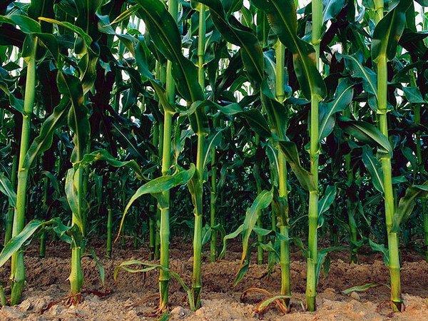 Применение грунтовых гербицидов для кукурузы