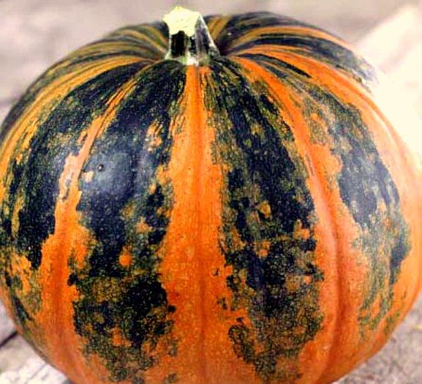 Популярный сорт тыквы Зорька
