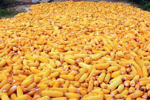 Промышленное хранение кукурузных початков