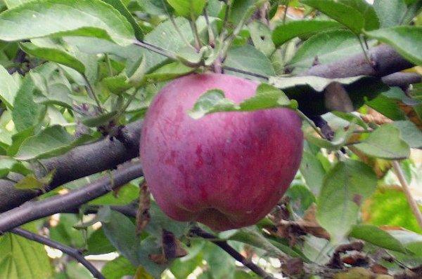 может картинки сорта яблок джонатан путь файлу