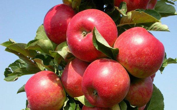 Плодоношение яблони сорта Елена