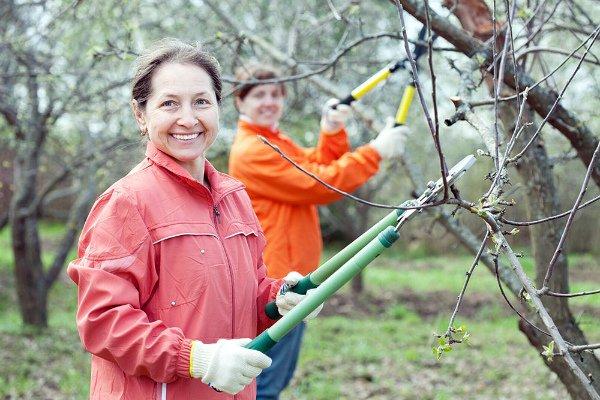 Обрезка сухих веток и формирование кроны яблони