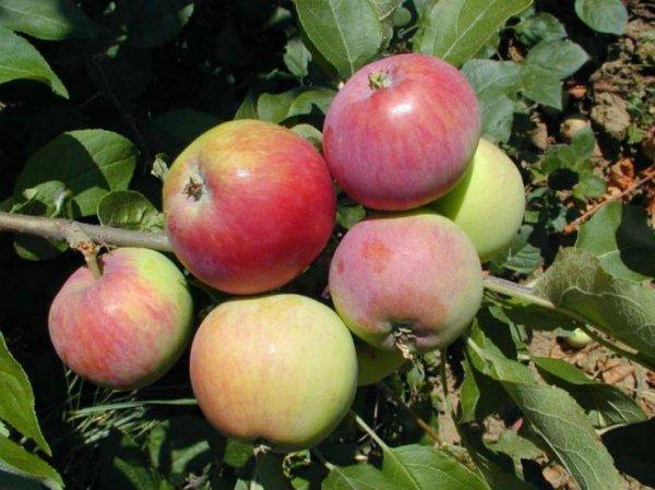 Созревание плодов яблони Мантет