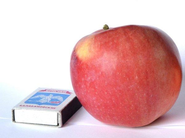 Сравнение размеров яблока Мантет и коробка спичек