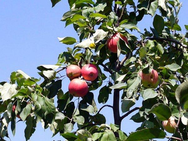 мечта яблоня описание фото