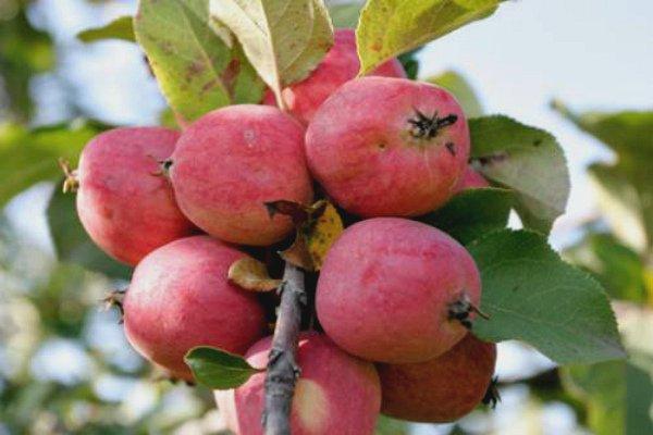 Ветка яблони Пепин шафранный со спелыми плодами