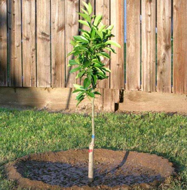 Уход за молодой яблоней Пепин шафранный