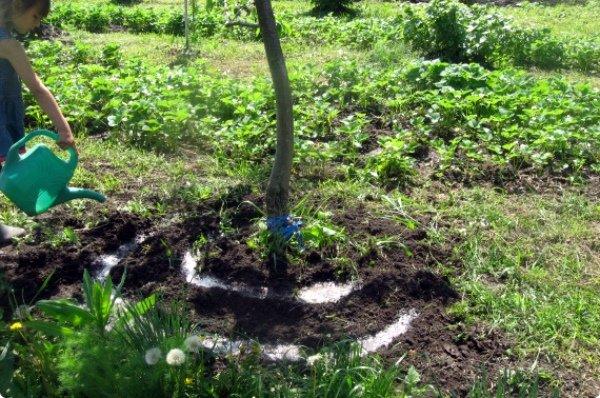 Внесение жидких удобрений под яблоню