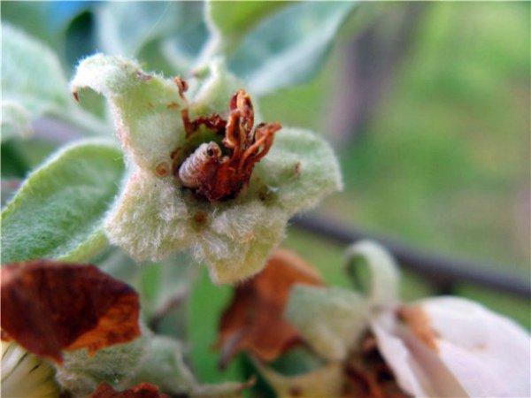 Опасный вредитель – яблоневый цветоед