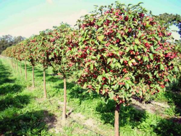 Молодые яблони сорта Подарок садоводам