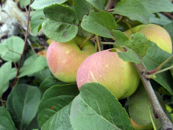Плоды яблони Подарок садоводам