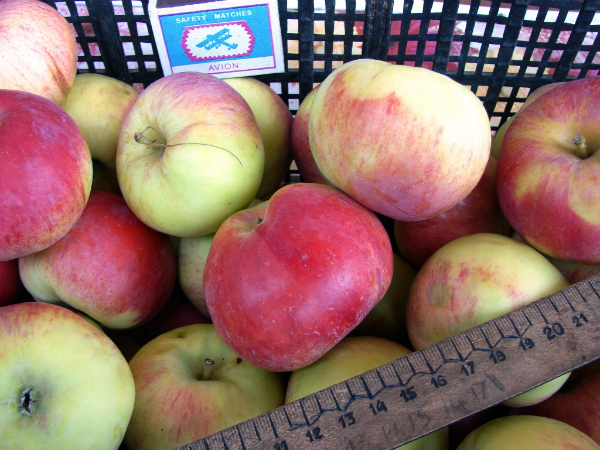 Сбор урожая яблок и оценка результатов