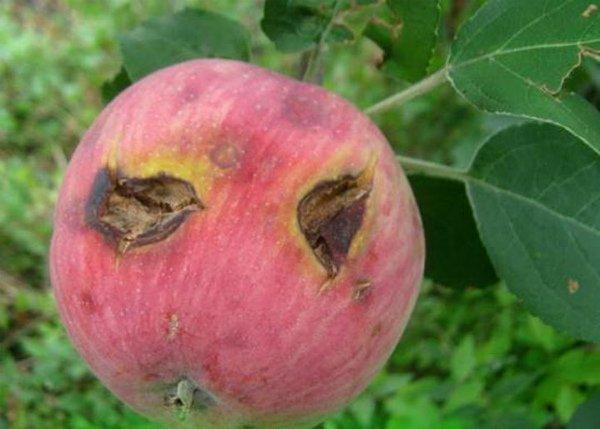 Признаки поражения яблони паршой