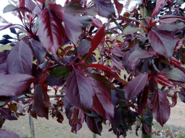 Внешний вид листьев яблони Royalty