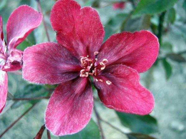Цветок яблони Royalty крупным планом