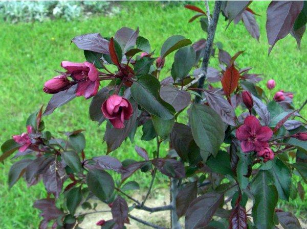 Цветущая яблоня Royalty – украшение сада