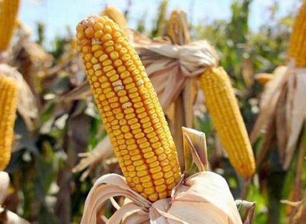 Выращивание кукурузы на зерно и корма