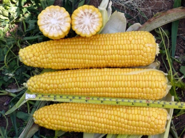 Початки кукурузы сорта Добрыня