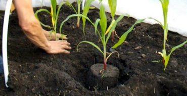 Посадка рассады кукурузы в парник