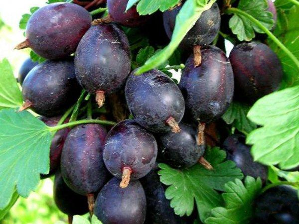 Спелые ягоды крыжовника Черносливовый