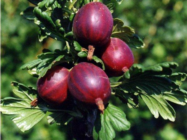 Дозревание ягод Черносливового крыжовника на кусте