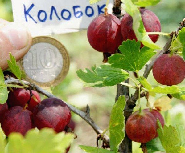 Сравнение плодов крыжовника Колобок с монетой