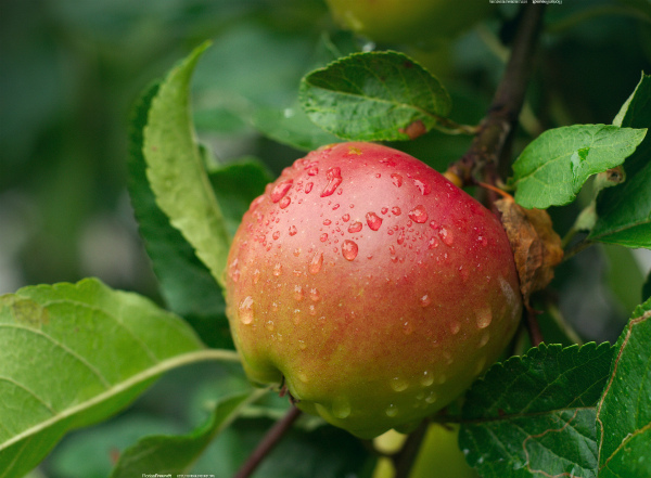 Зимнее яблоко Макинтош на ветке