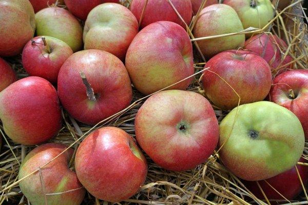 Хранение яблок на сене