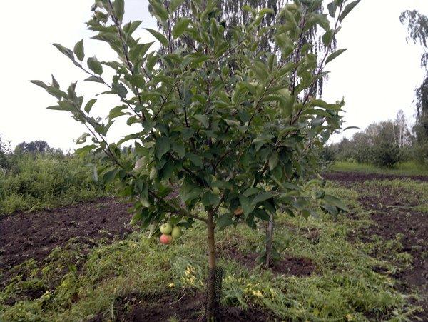 Молодая яблоня сорта Макинтош