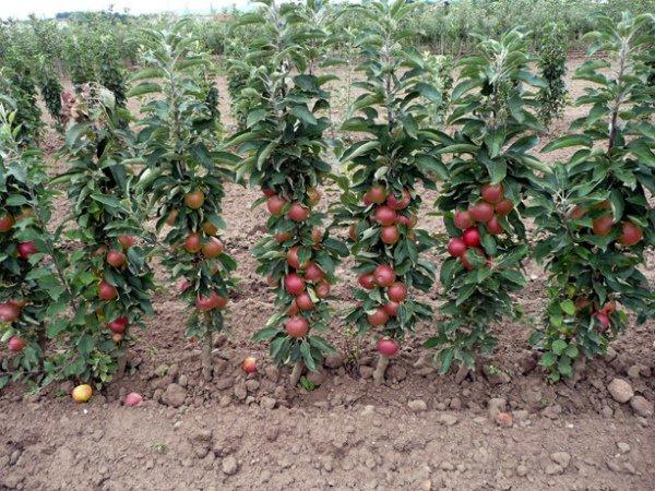 Сад колоновидных яблонь Макинтош