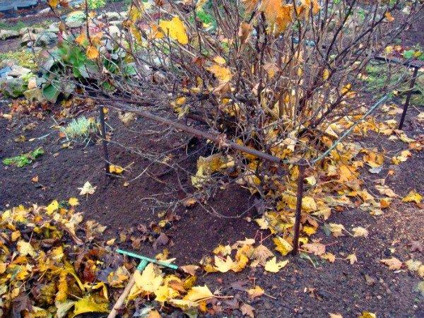 Уборка листвы из-под куста крыжовника