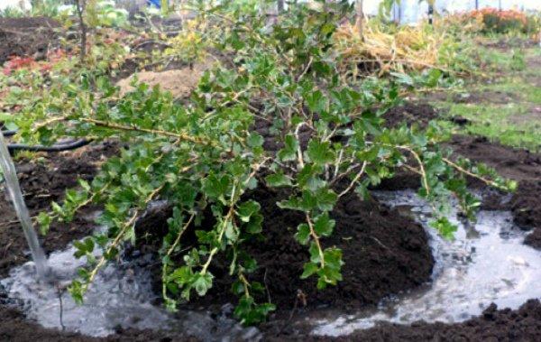 Дезинфекция почвы под крыжовником кипятком