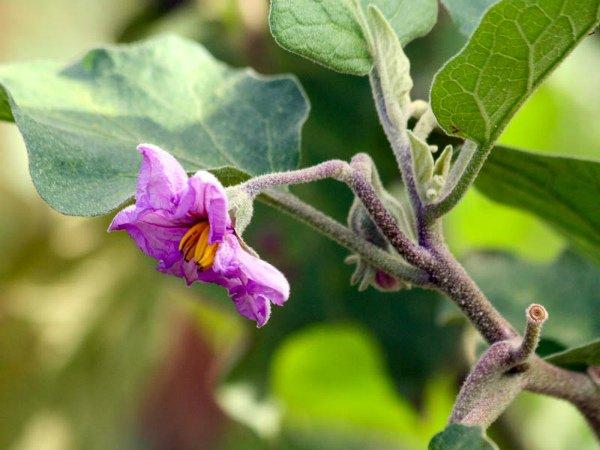 Цветы баклажанов увядают и опадают