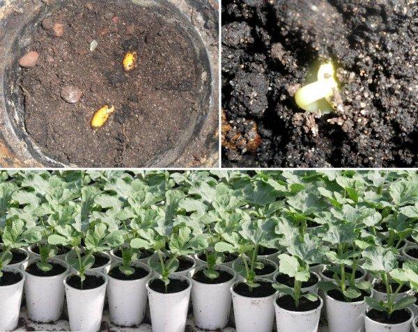 Технология выращивания рассады дыни