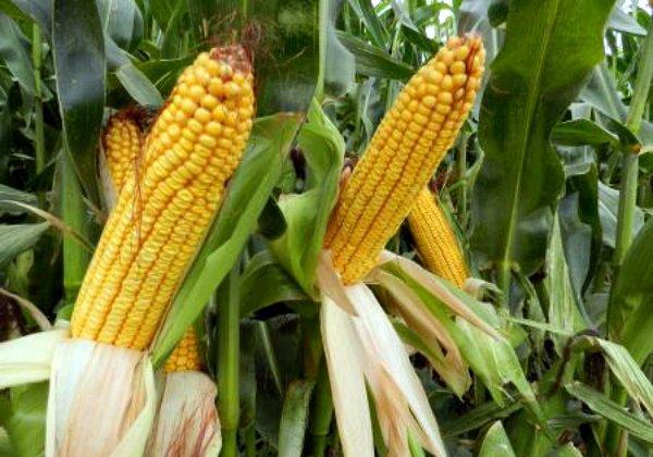 Фаза восковой спелости кукурузного зерна