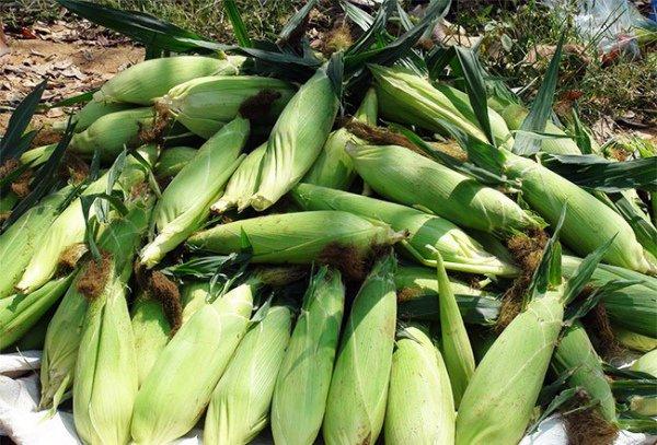 Урожай кукурузы на даче