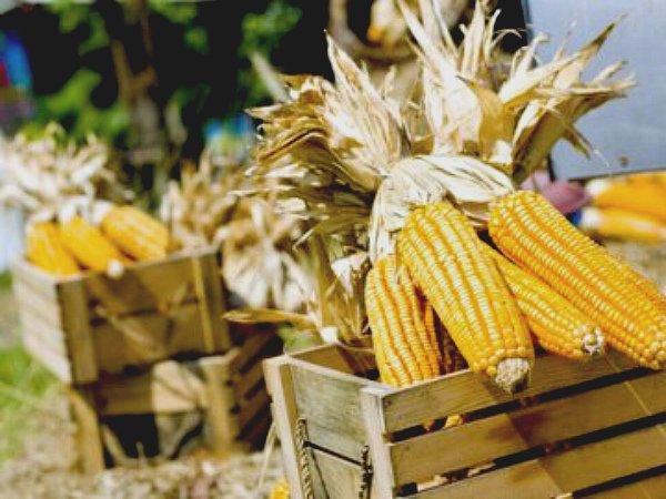 Сбор и сушка семенной кукурузы