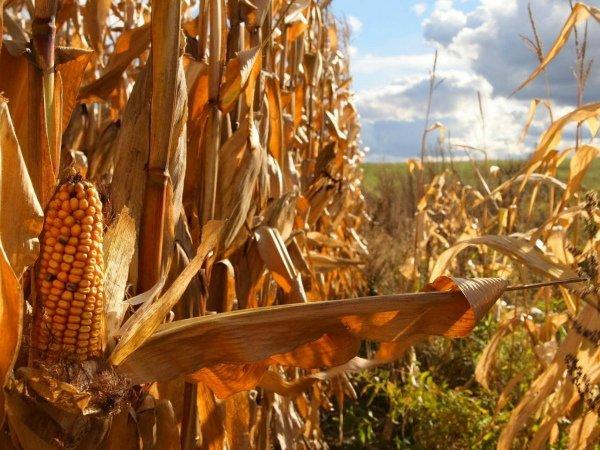 Кукурузный початок восковой зрелости