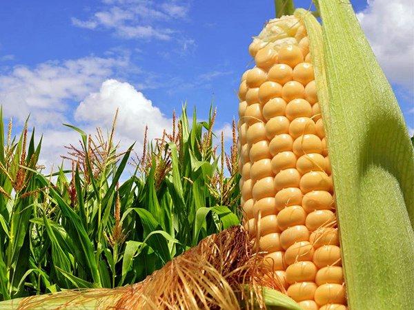 Початок кукурузы молочной зрелости